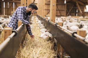 Insect Protein as Animal Feed